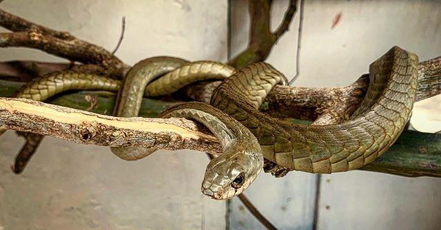 Even more handsome snakes, Bio-ken, Kenya