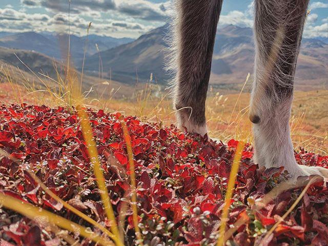 Autumnal colours & Lava the loveliest dog #tombstone #yukon
