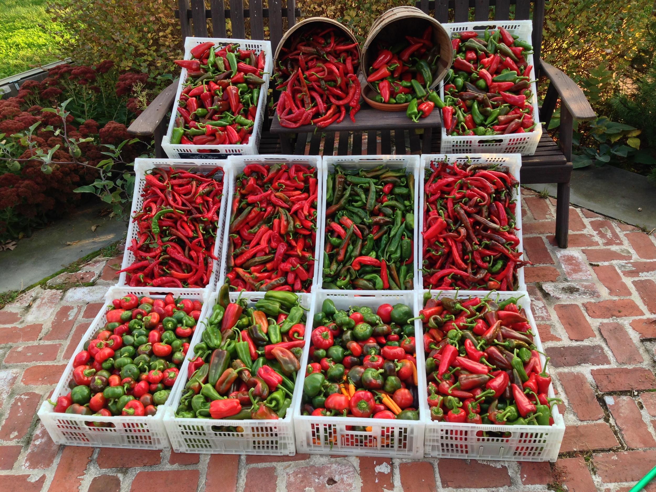 fall pepper harvest 2013.jpg