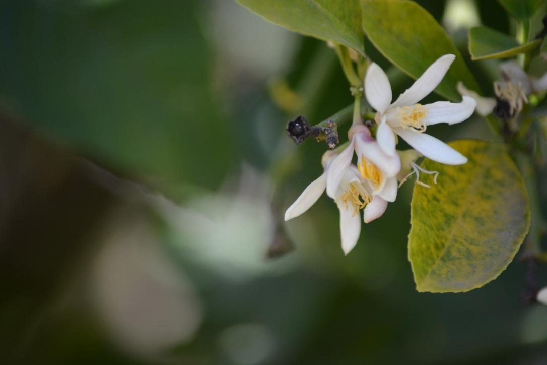 A lemon blossoms.jpg