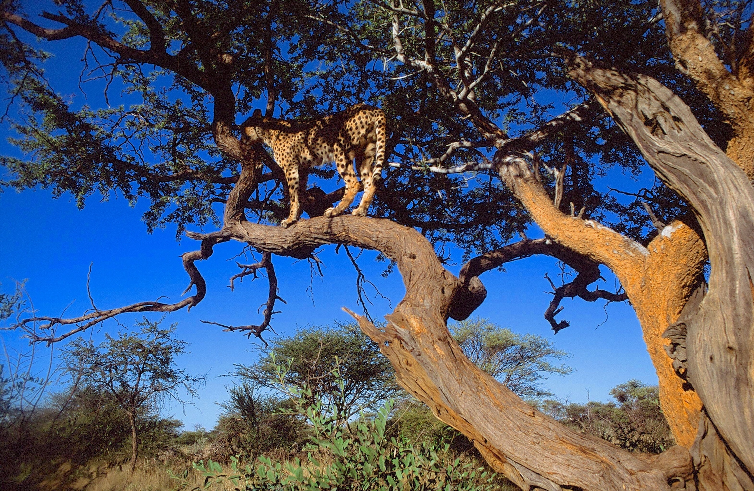 Cheetah tree, used for marking territory. All photos ©Alex Strachan