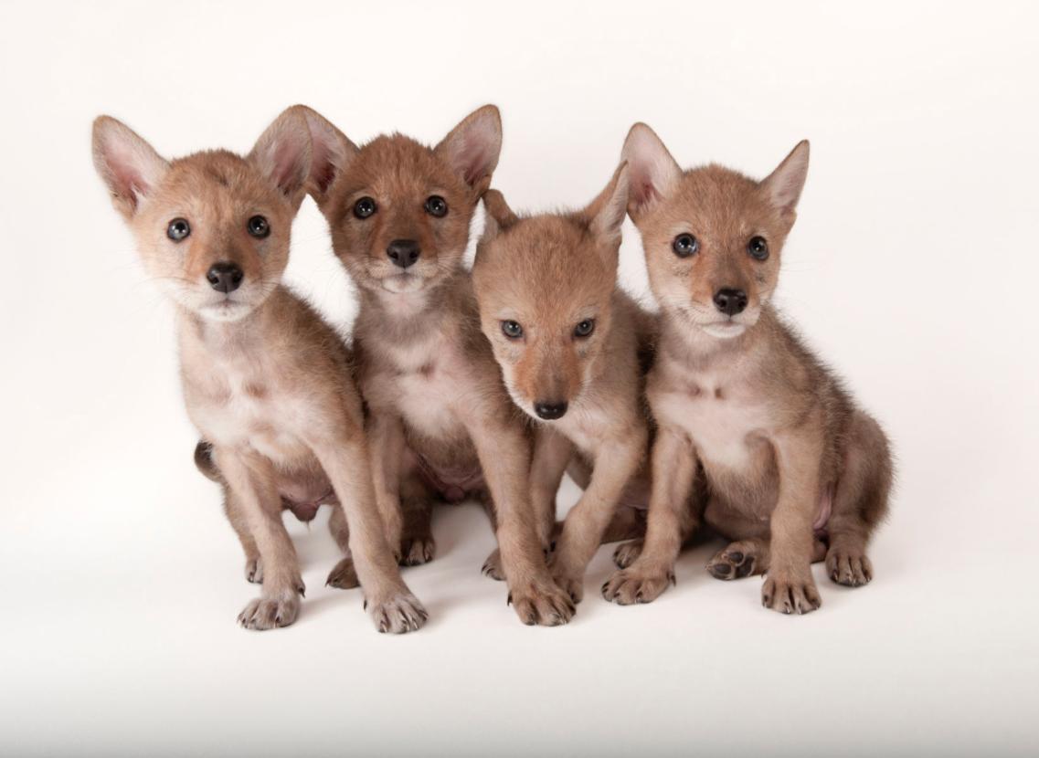 Coyote pups. ©2017 Joel Sartore