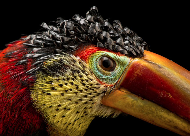 Curl-crested aracari. ©2017 Joel Sartore