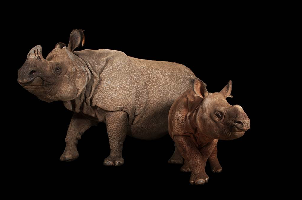 Indian rhinoceros. ©2017 Joel Sartore
