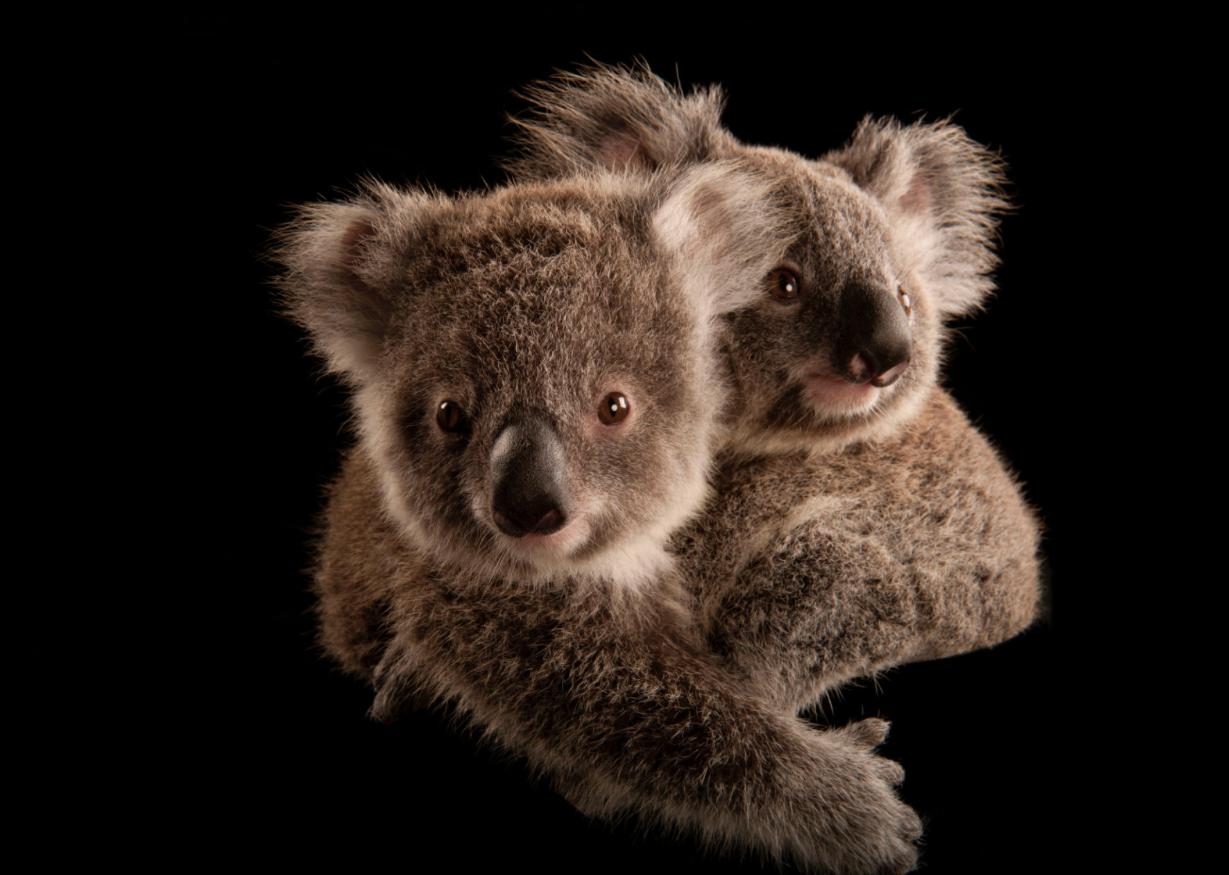 Koalas ©2017 Joel Sartore
