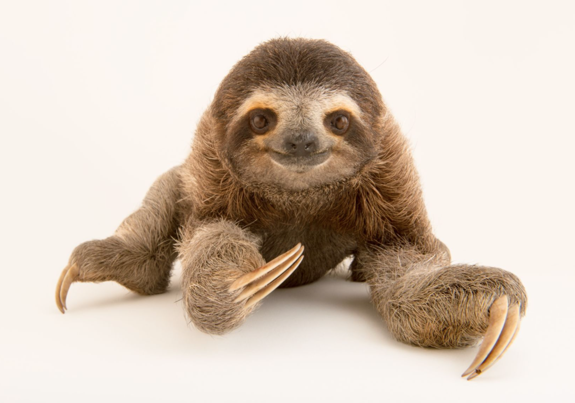 Brown-throated sloth. ©2017 Joel Sartore