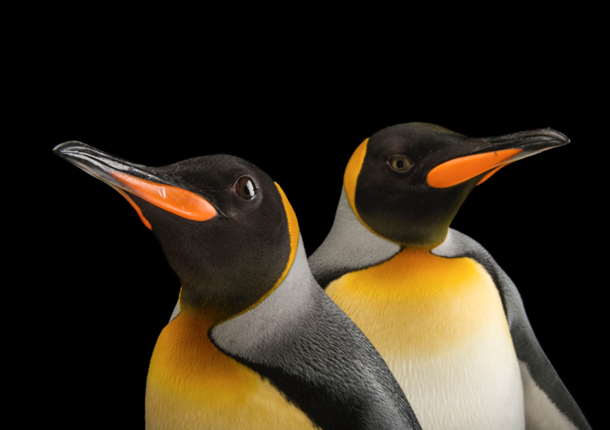South Georgia king penguins. ©2017 Joel Sartore