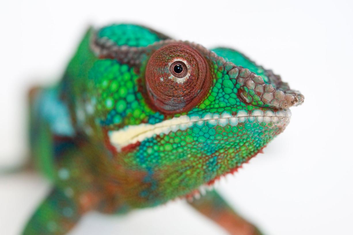 Panther chameleon. ©2017 Joel Sartore