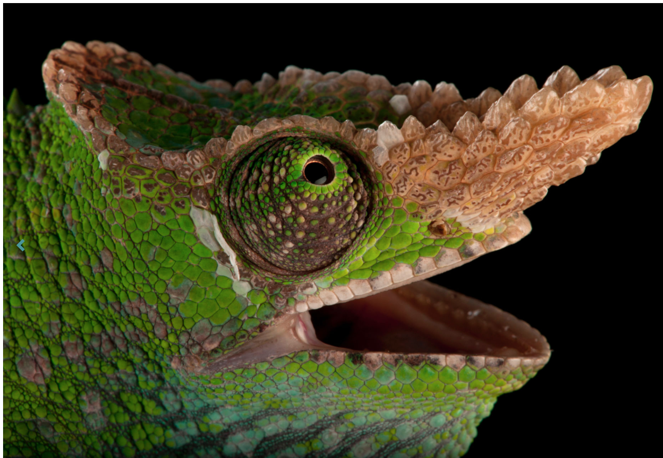 West Usumbara two-horned chameleon. ©2017 Joel Sartore