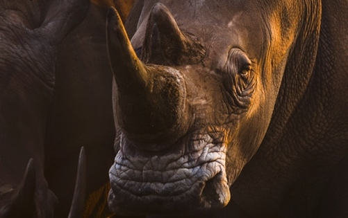 ©Federico Veronesi/Remembering Rhinos