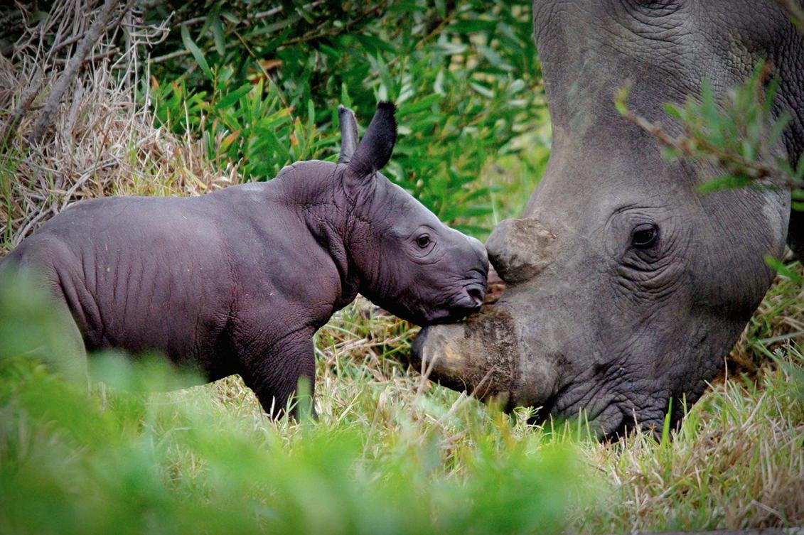 ©Remembering RhinosAyesha Cantor
