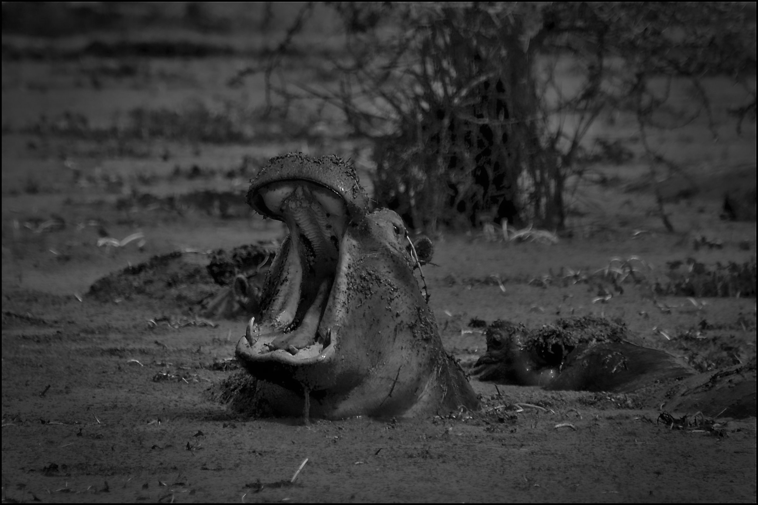 Hippo, Nogorongoro Crater, Tanzania.