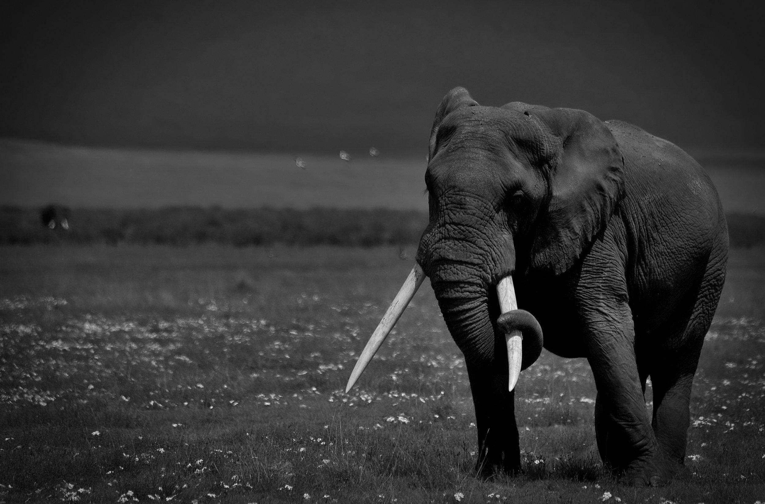 Elephant, Ngorongoro Crater, Tanzania.