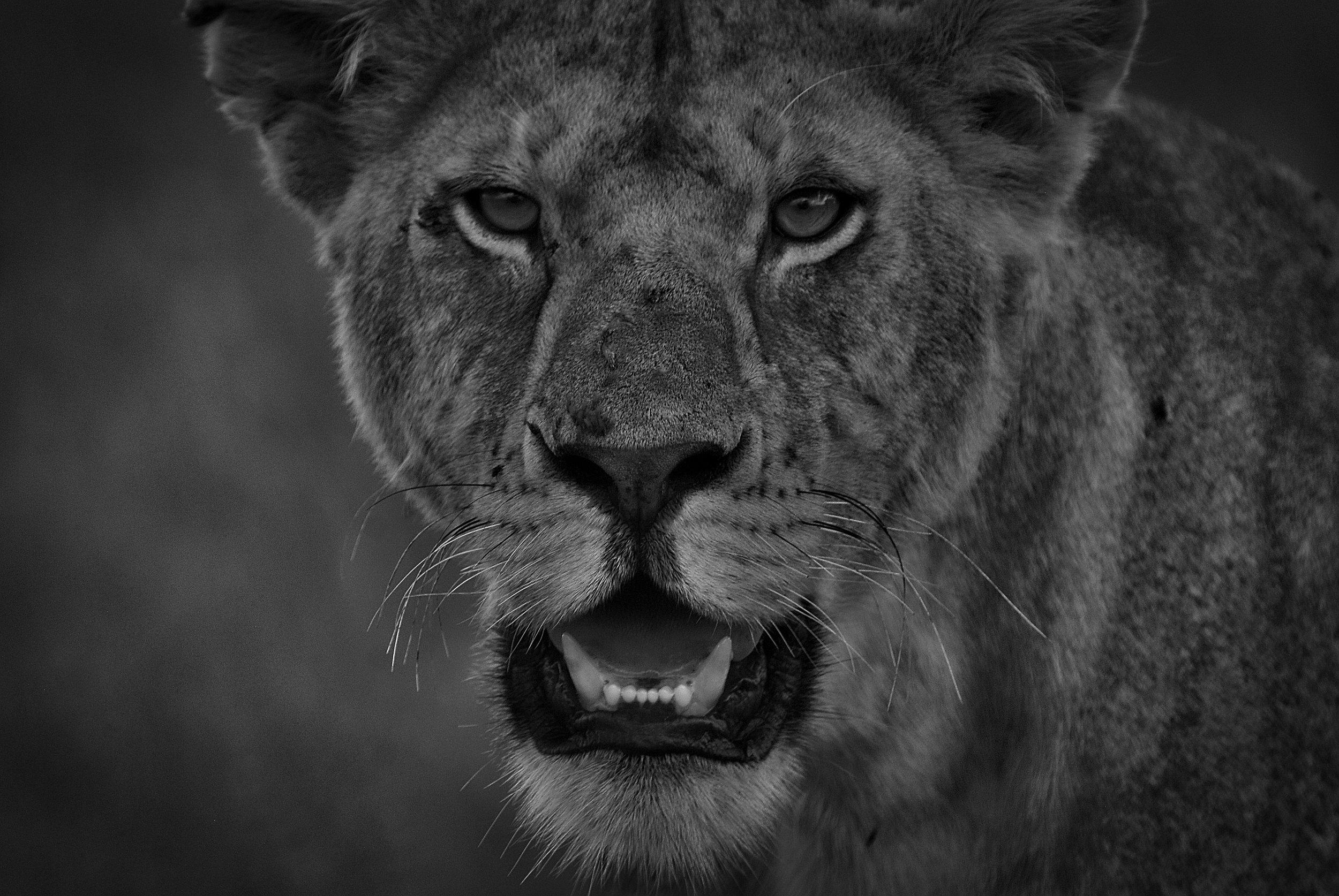 Lioness, Serengeti National Park, Tanzania.