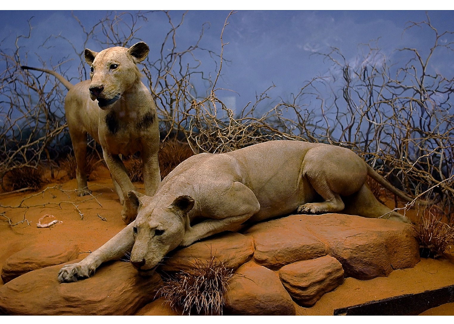 ©Field Museum, Chicago. The Tsavo man-eating lions (1898).