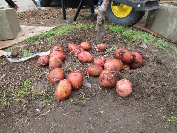 chet-found-potatoes.jpg