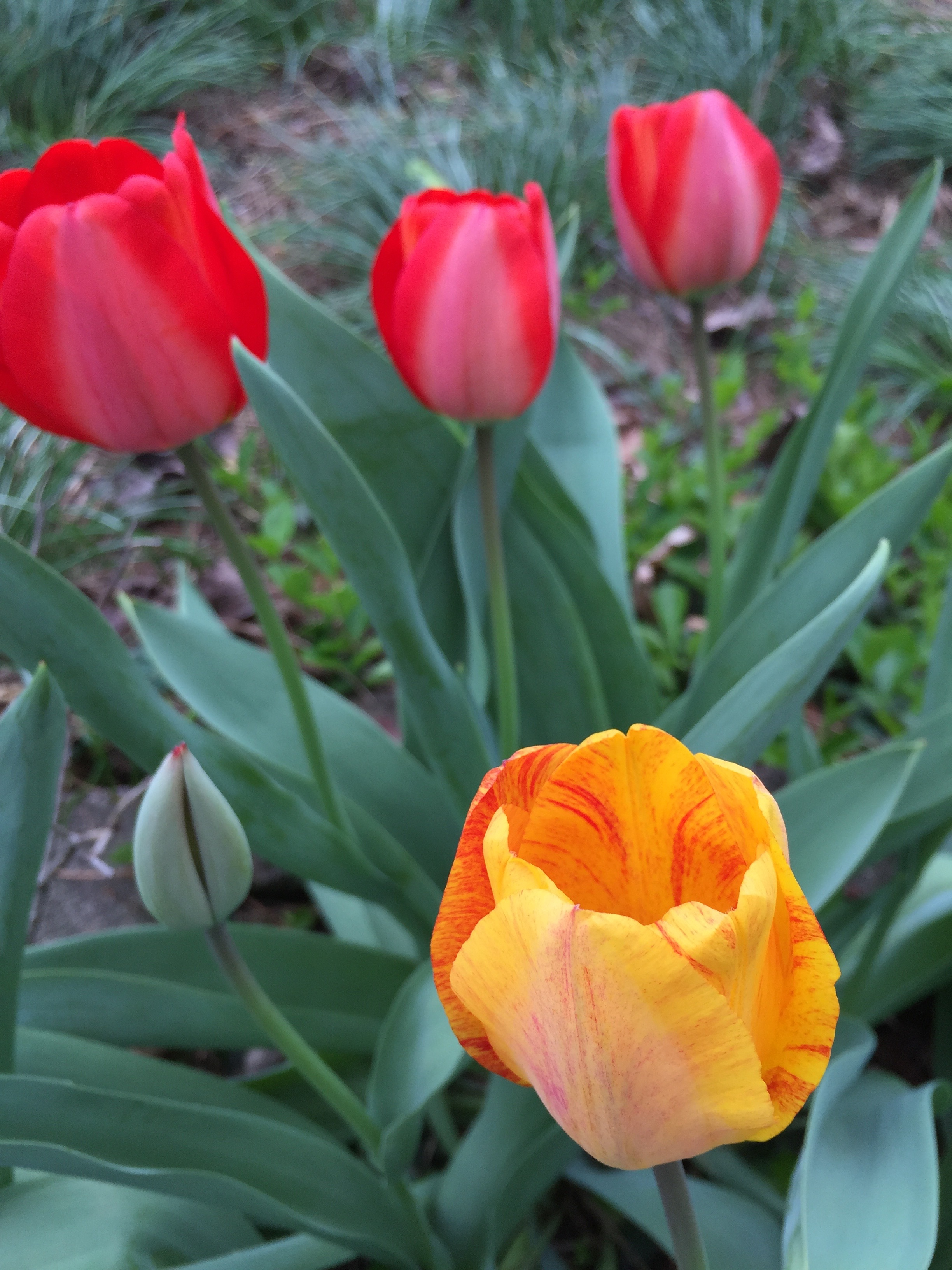 backyard_tulips_2016