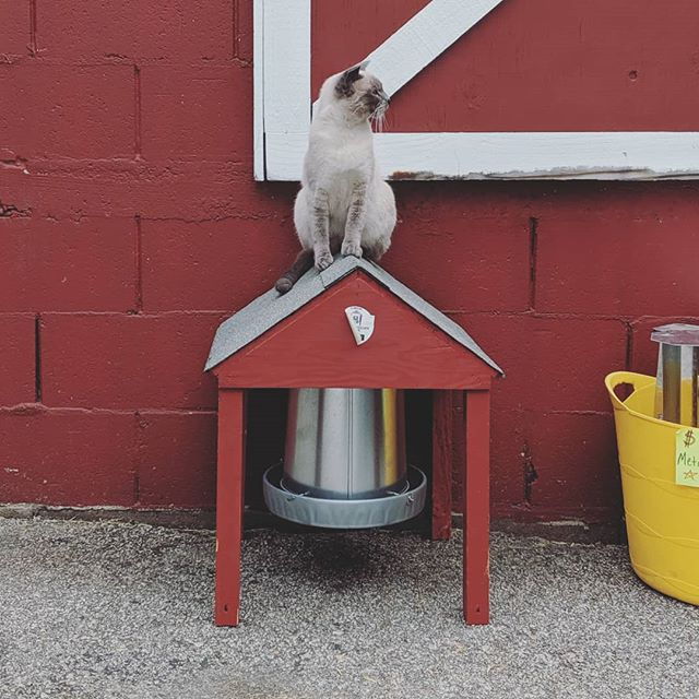 Chicken feeder or lookout station? Our new store cat Scottie is getting adventurous! #cat #feedstore
