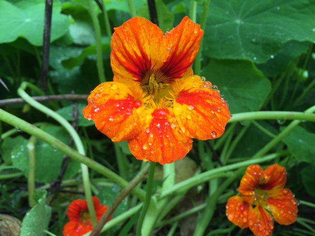 Brightly colored nasturtium flowers are beautiful and peppery.