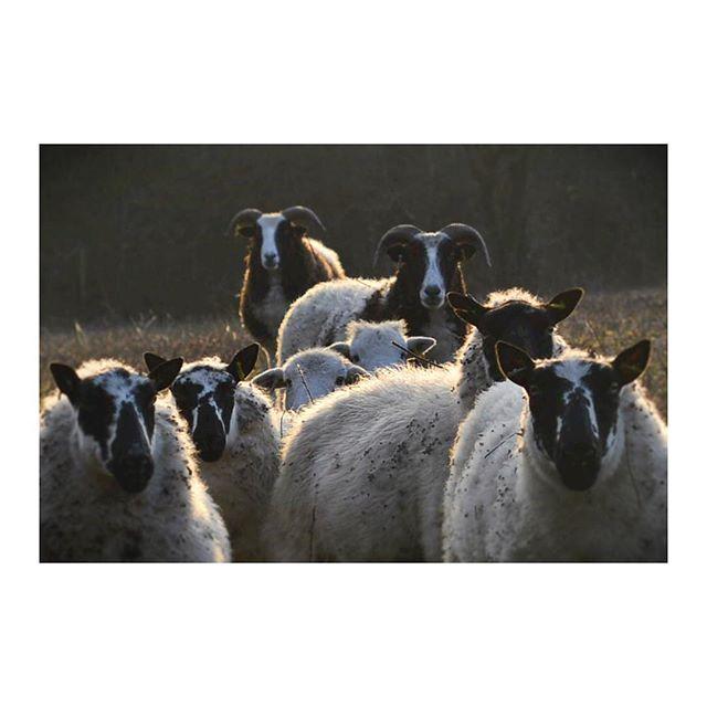 These guys are great 🐑#sheep #baaramyou #herdwick #countrysidewalk