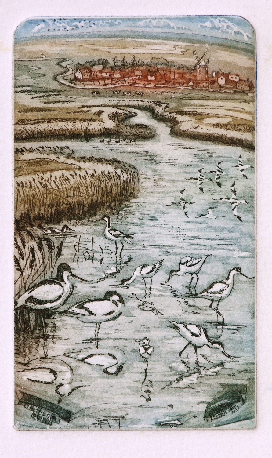 Avocets   etching   .  .