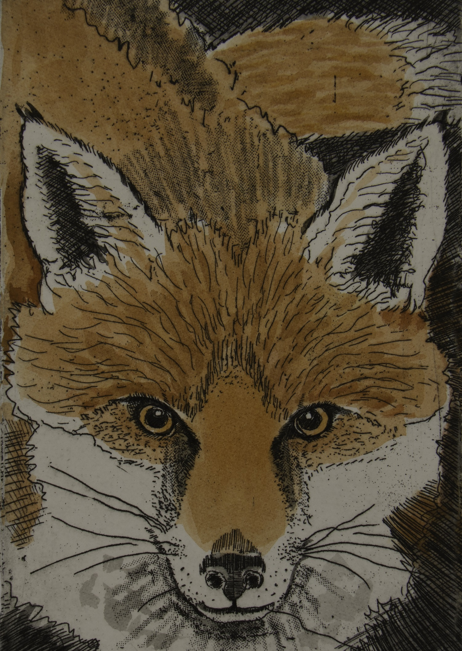 Fox  hand coloured  etching   £75 (unframed)