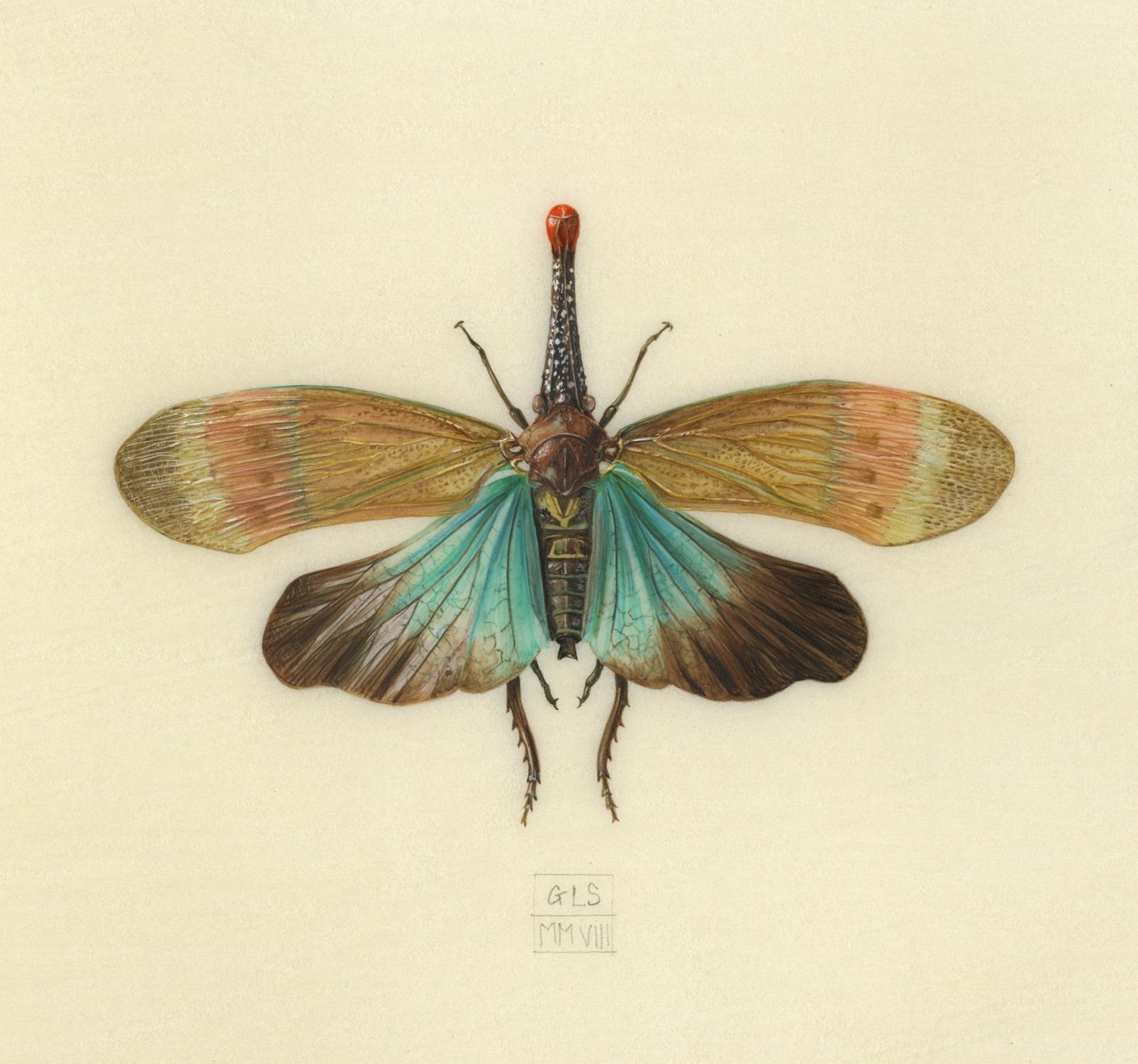 Lantern Bug  watercolour on kelmscott vellum  12 x 11 cm  SOLD