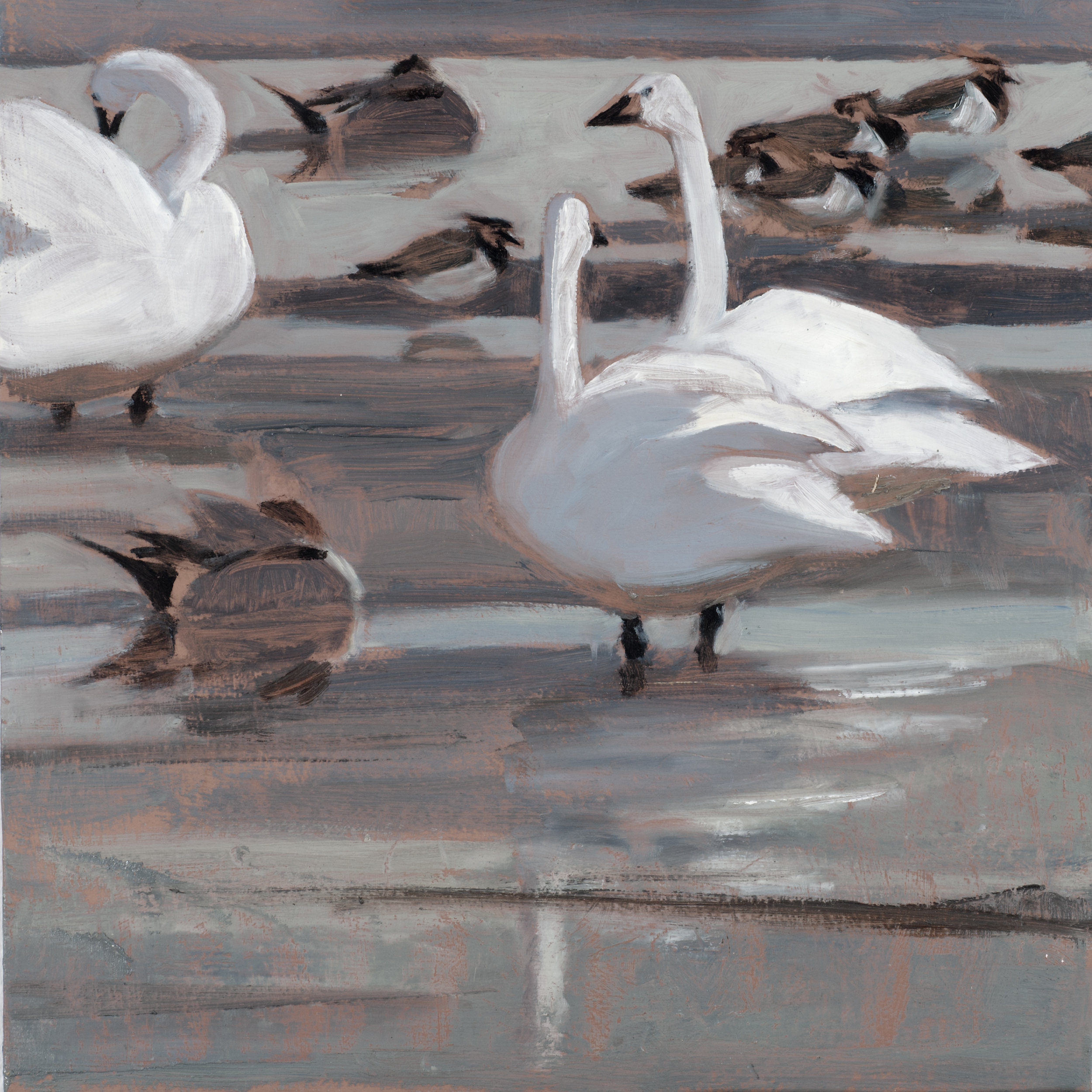 Bewick's Swans, Pintails and Lapwings  oil  25cmx26cm  sold
