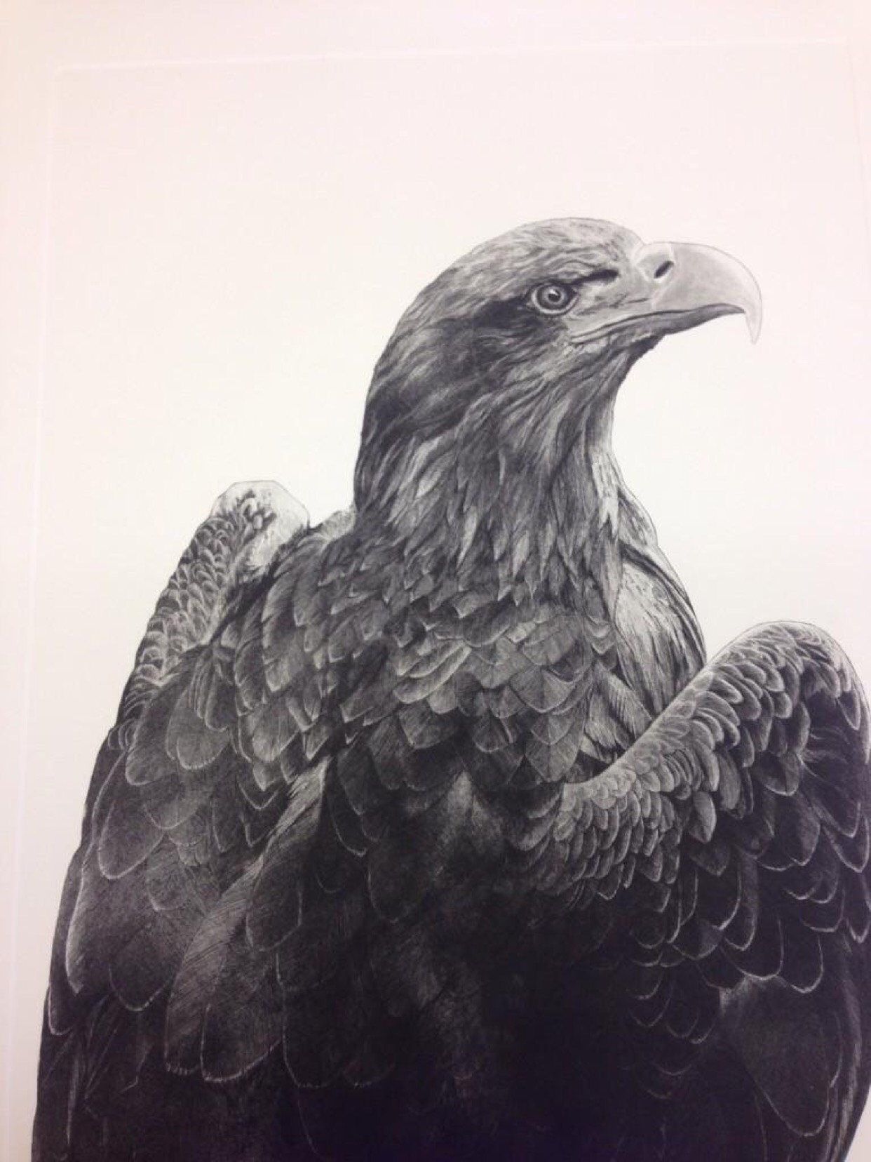 White Tailed Eagle  etching and aquatint  Unframed £500 Size 60 cm x 43.75 cm  Framed £590 Size