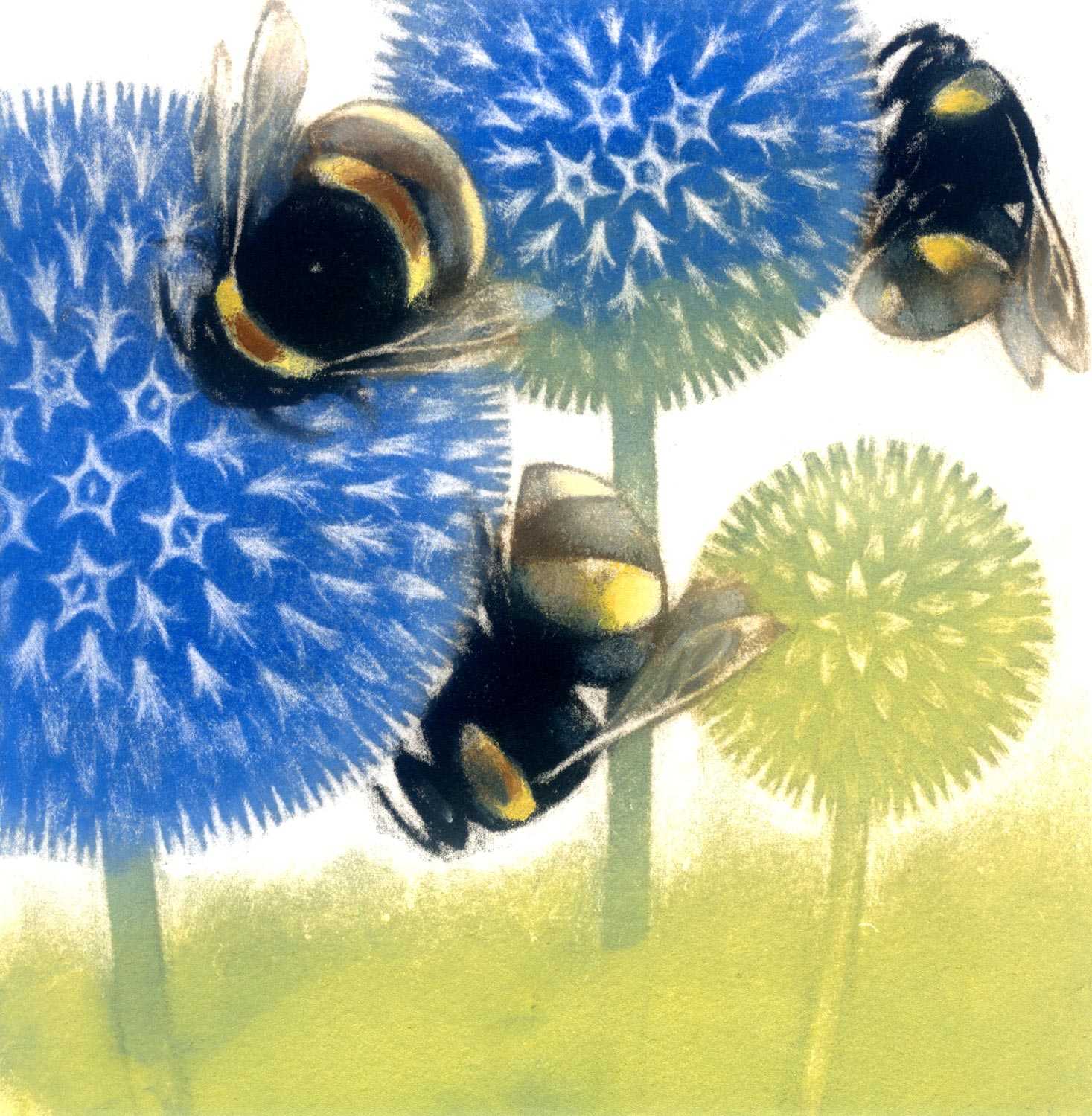 Echinops In Flower  coloured mezzotint  25 x 25 cm  £125 framed