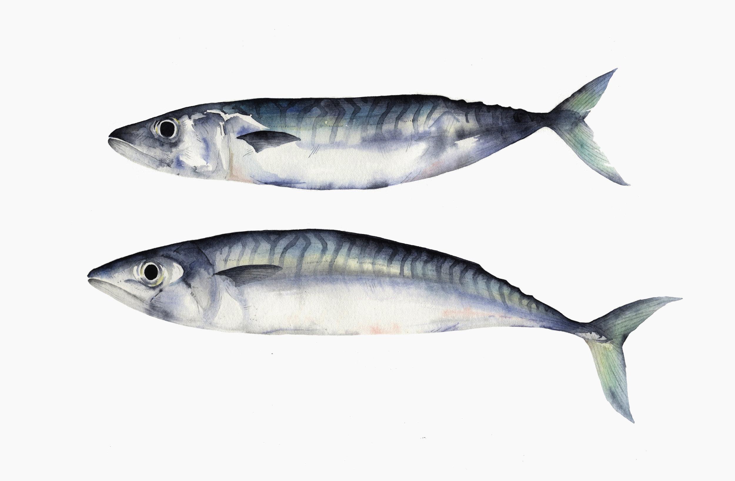 Two Mackerel  watercolour  40 x 30 cm framed  £320