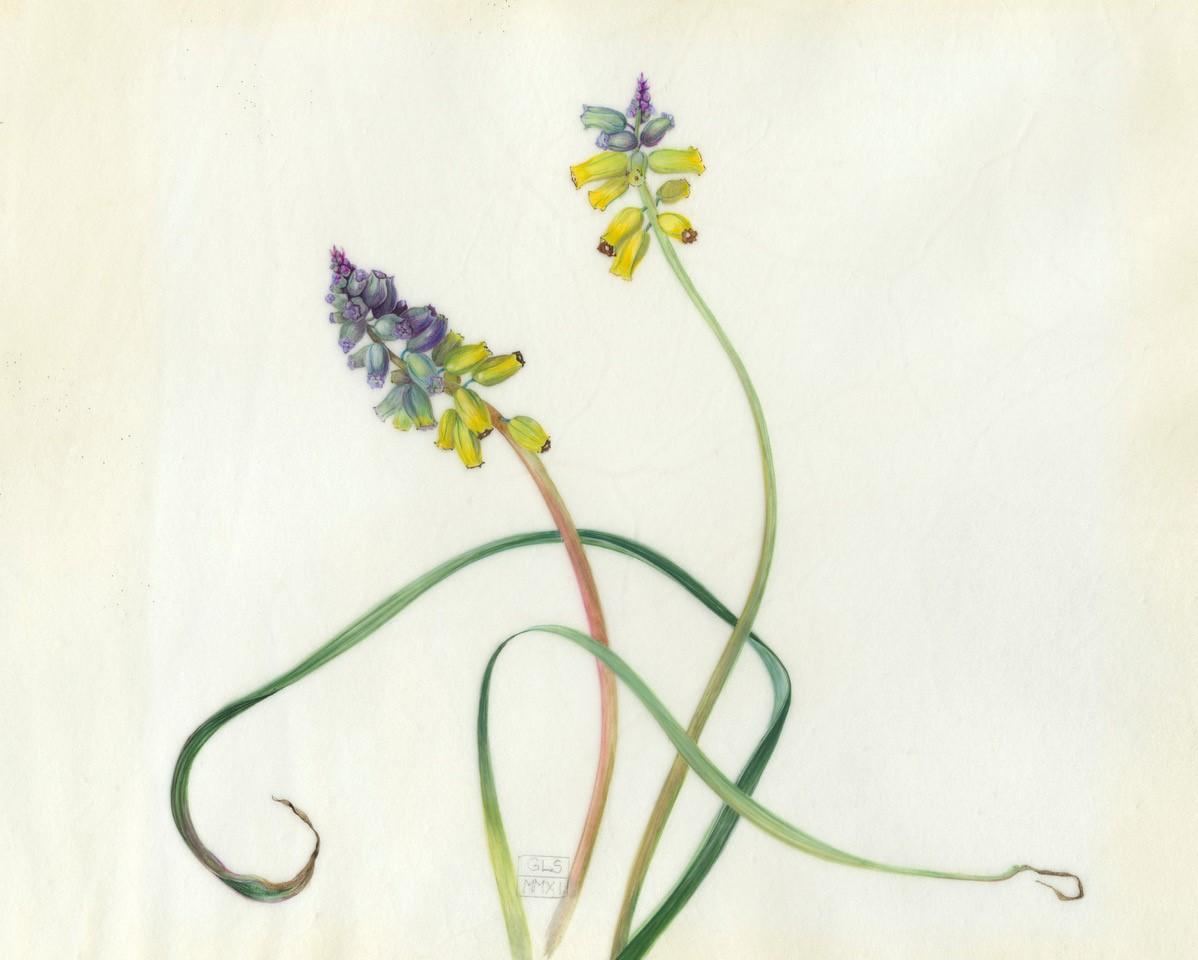 Muscari Macrocarpum  watercolour on vellum  24 x 19 cm image  47 x 42 cm framed  sold