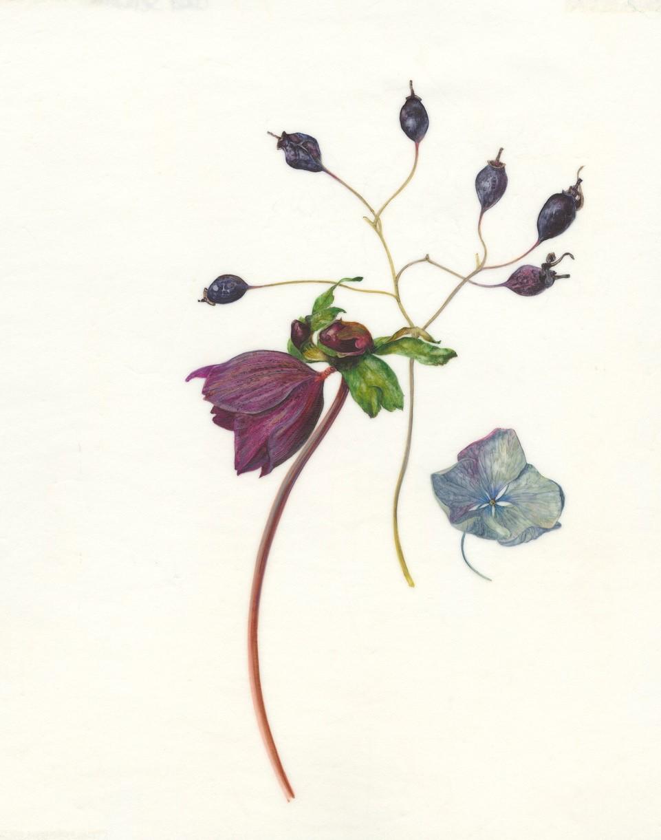 Rosa Glauca Hips  watercolour on vellum  17 x 21 cm image  40 x 44 cm framed  £660