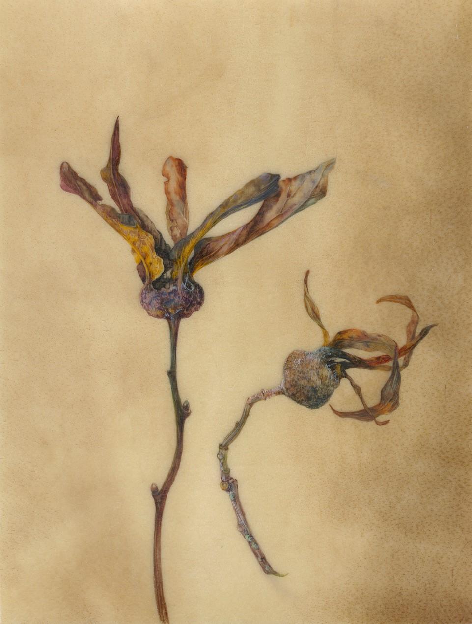 The Last Medlars  watercolour on vellum  36 x 40 cm framed  SOLD