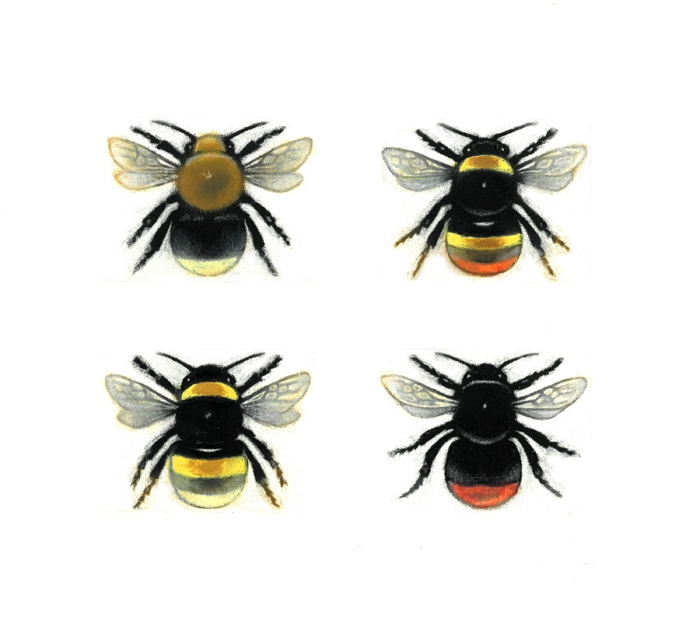 Bubblebee Queens  Series of Hand Coloured Mezzotints  £145 framed