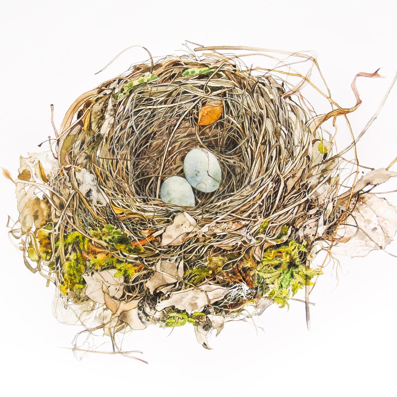 Birds Nest 1  watercolour  57 x 57 cm (framed)  SOLD