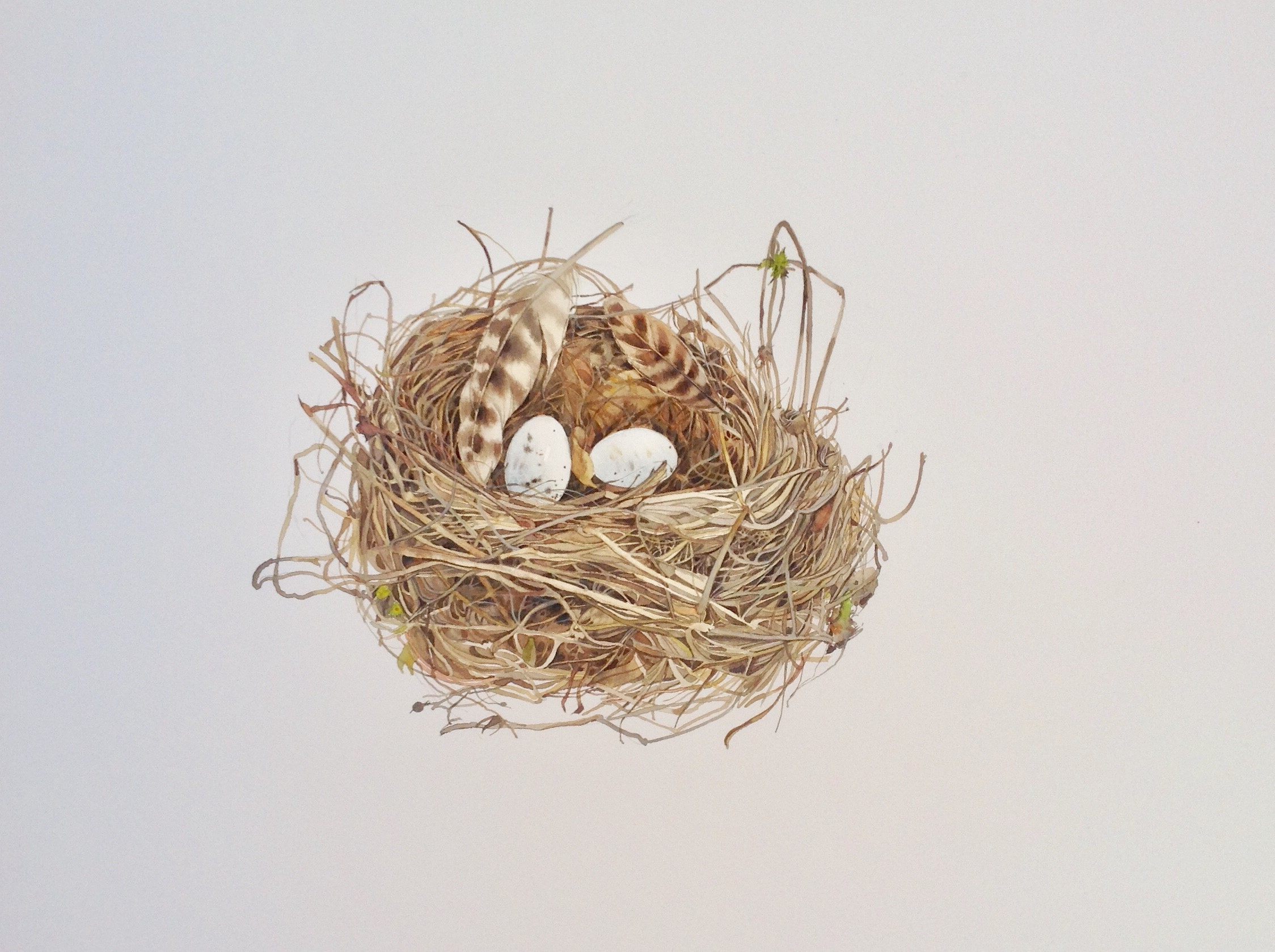 Nest with Feather 2  watercolour  54 x 54cm  £550 framed