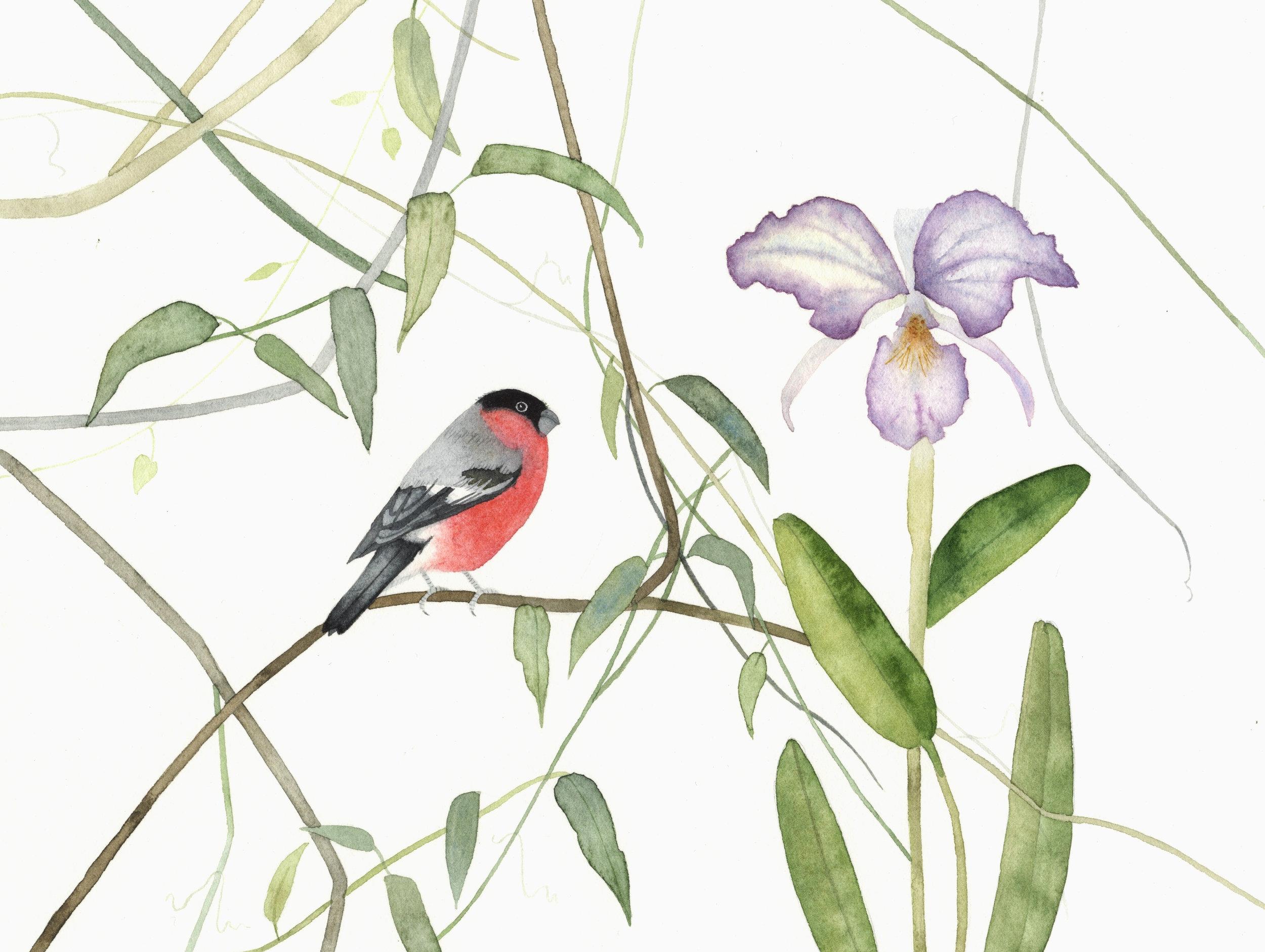 Bullfinch  watercolour  40 x 30 cm framed  £290