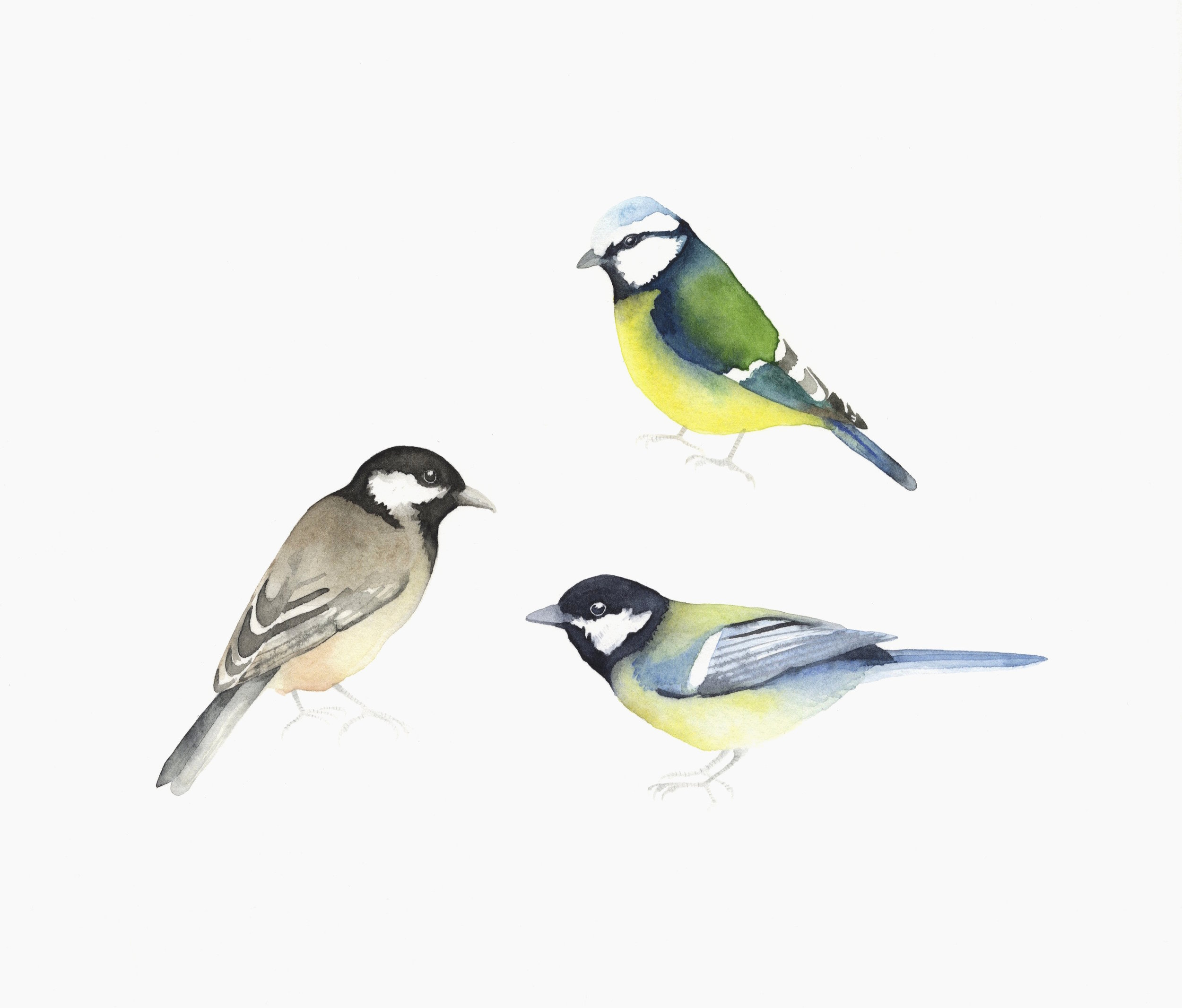 Blue Tit, Great Tit and Coal Tit  watercolour  30 x 30 cm framed  £280