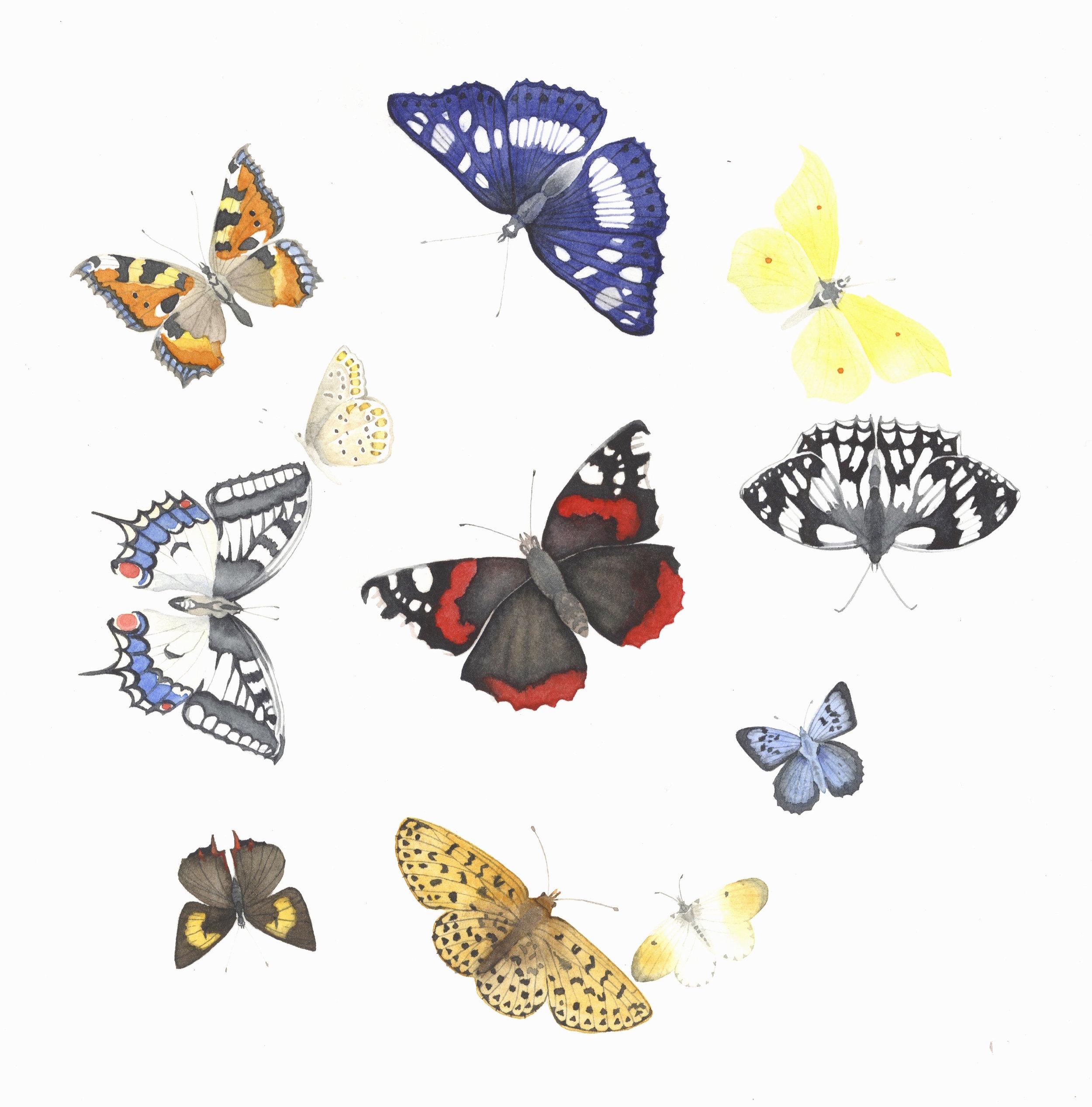 British Butterflies  watercolour  40 x 40 cm framed  £320