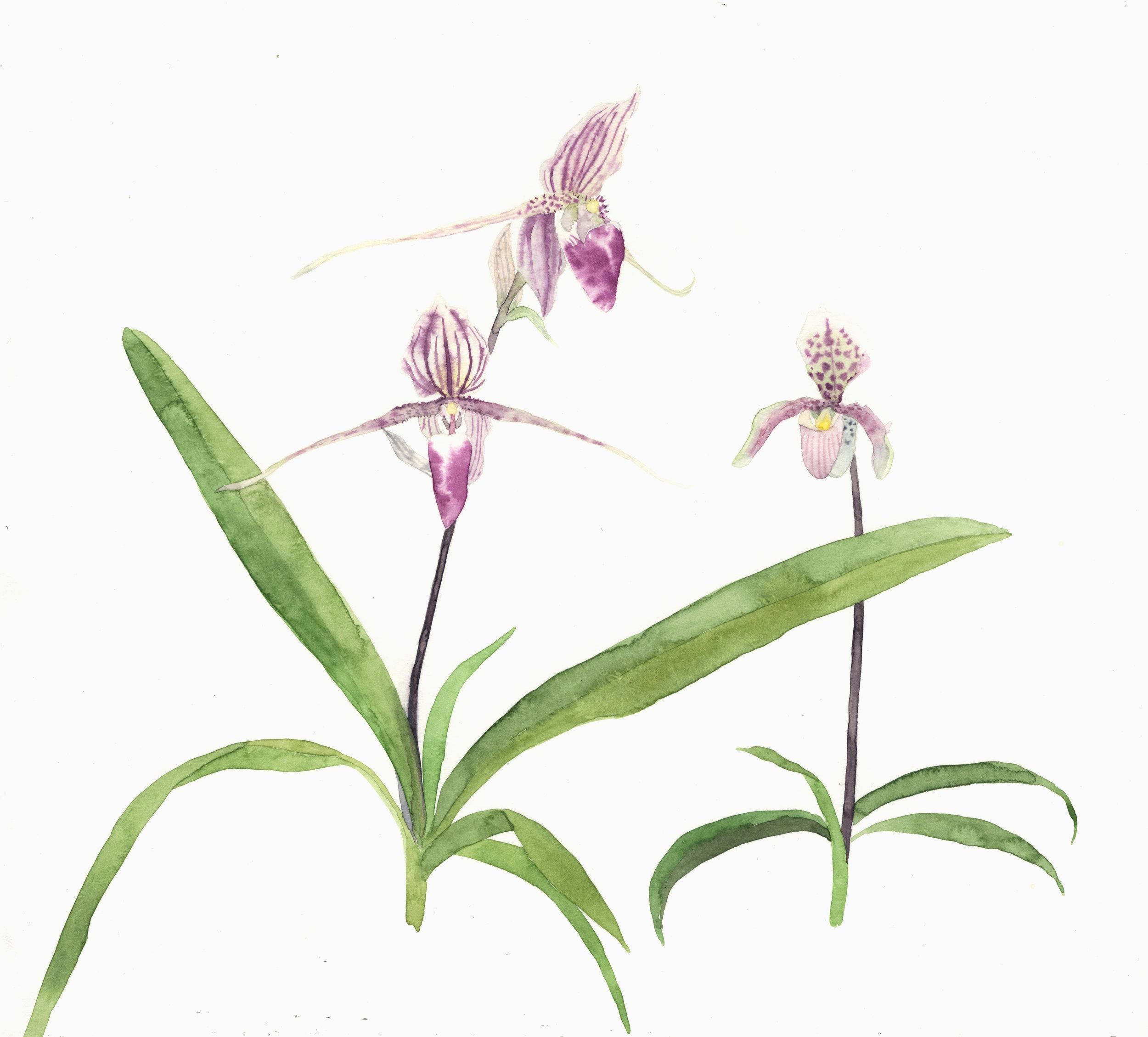 Kew Orchids  watercolour  40 x 40 cm framed  £310