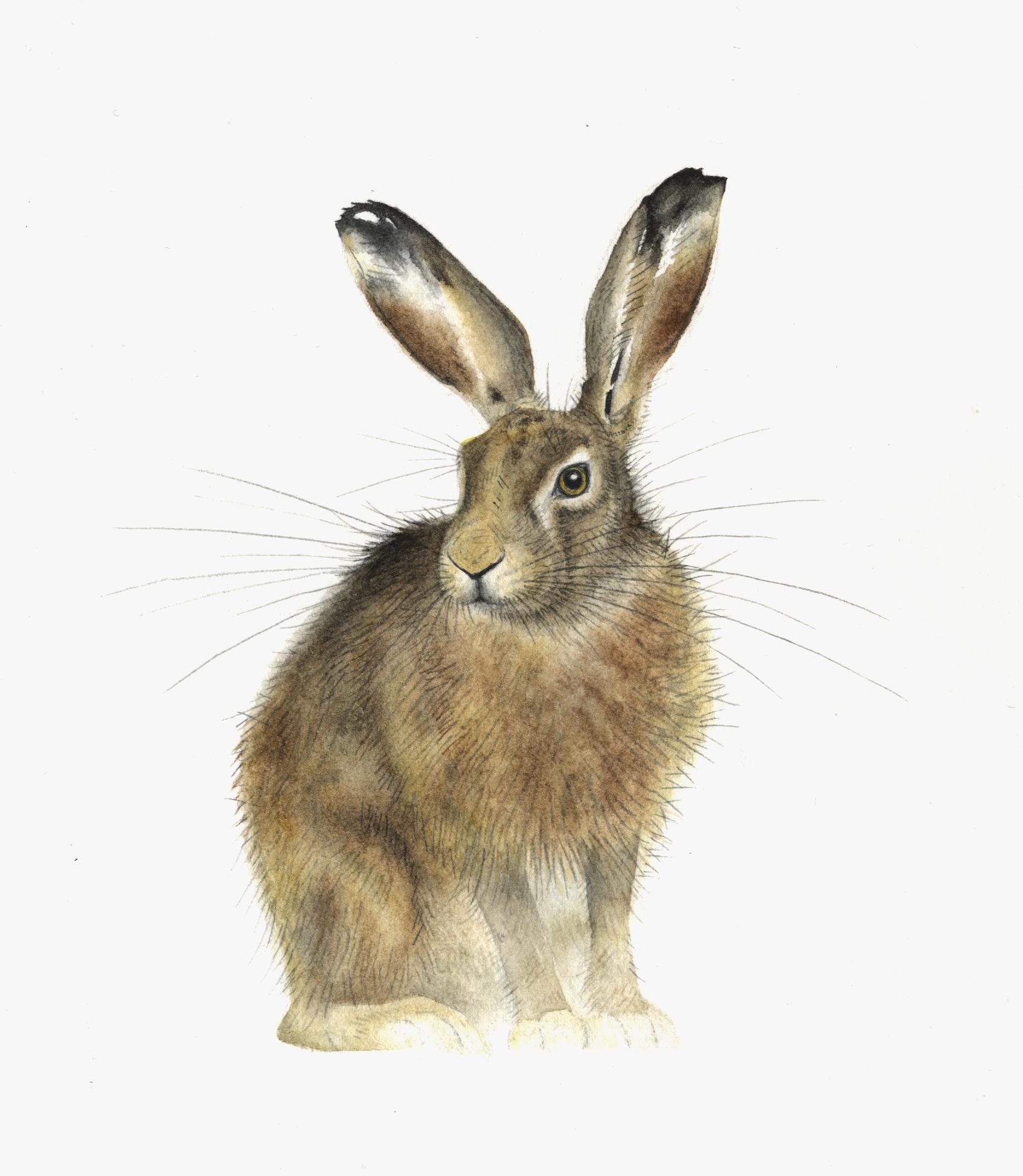 Sitting Hare  watercolour  40 x 30 cm framed  £280