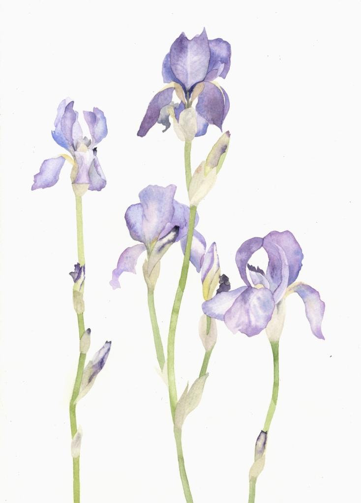 Irises  watercolour  30 x 40 cm framed  £310