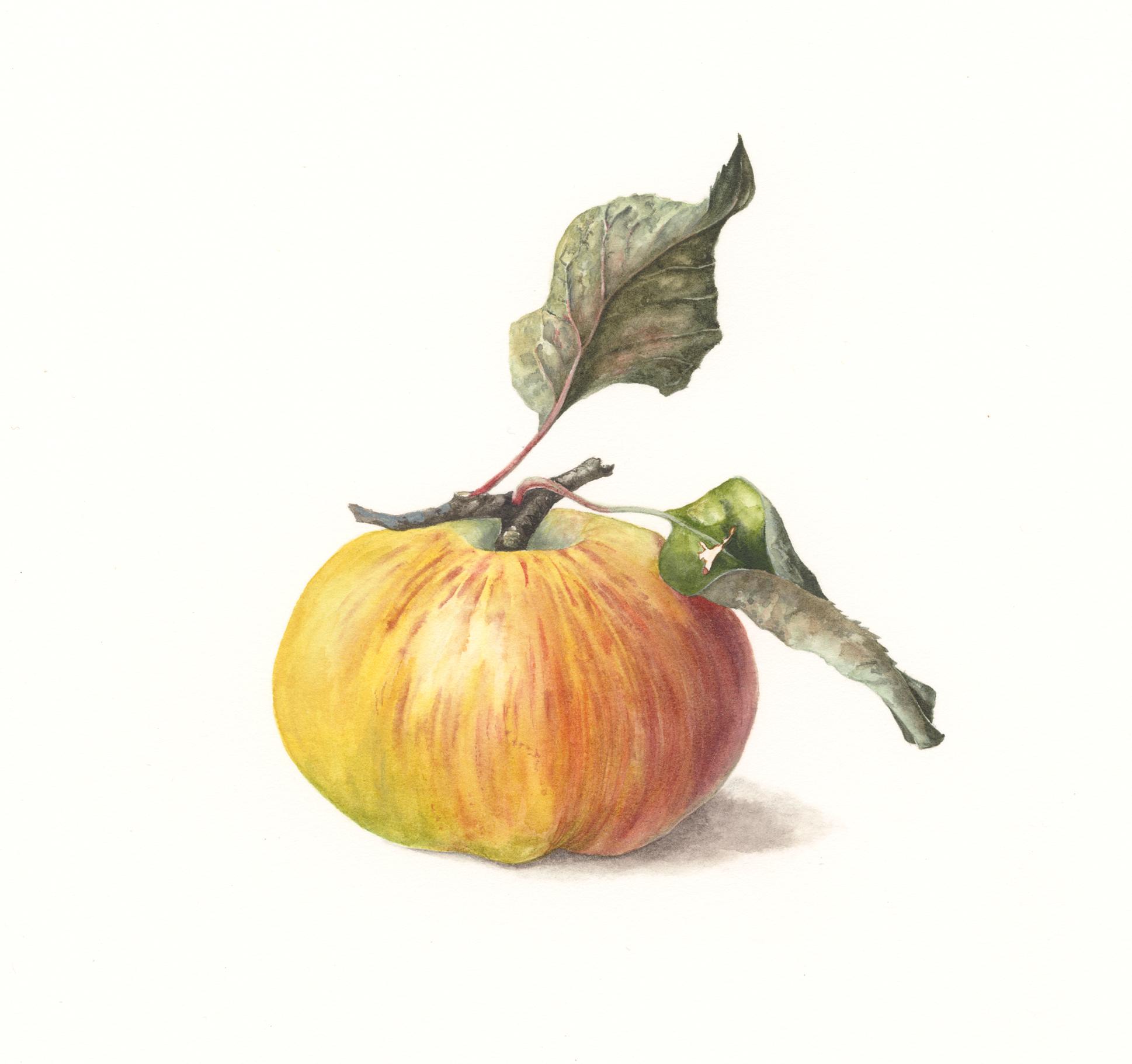 Bramley's Seedling Apple  watercolour on paper  20 x 16 cm image  43 x 40 cm framed  SOLD