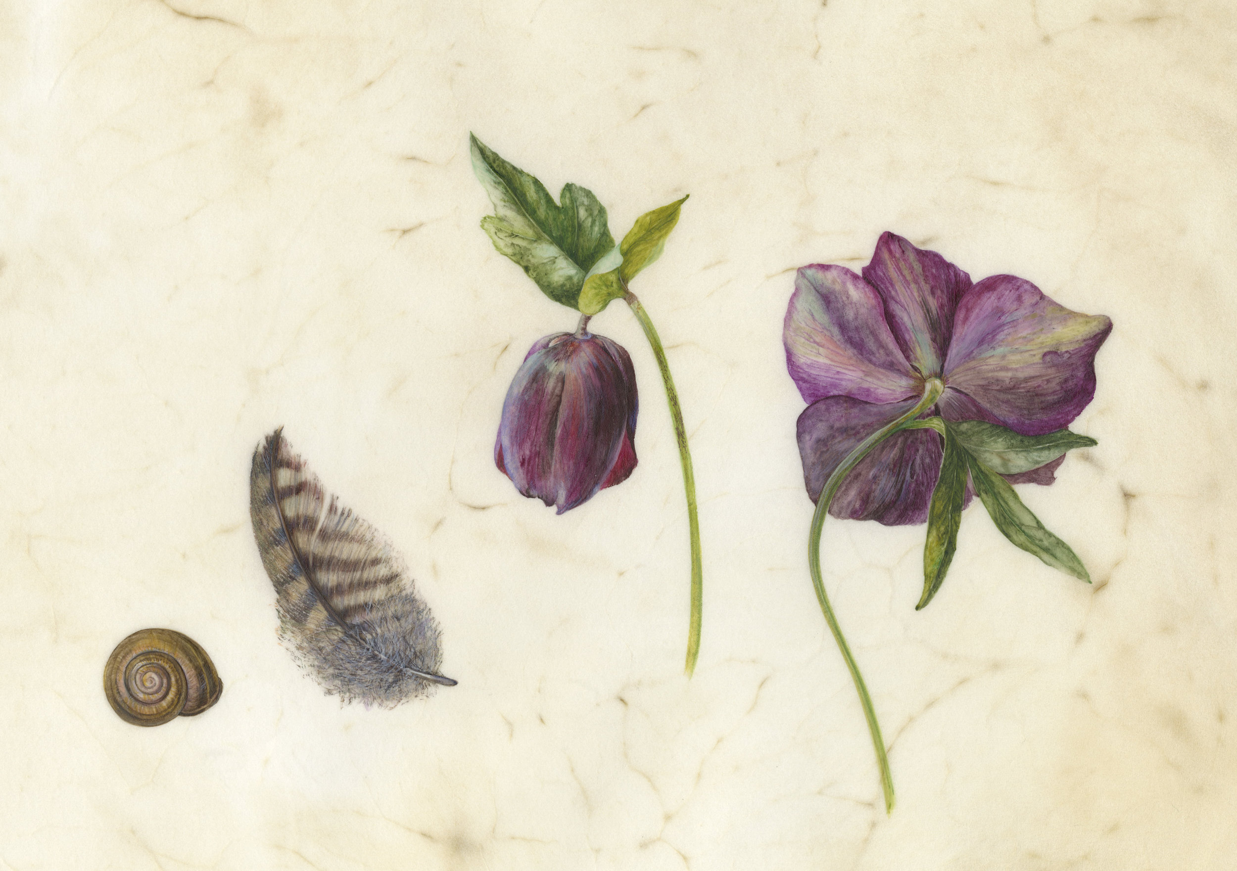 Hellebores, Pheasant Feather and Snail  watercolour on vellum  25 x 15 cm image  48 x 38 cm framed  £720