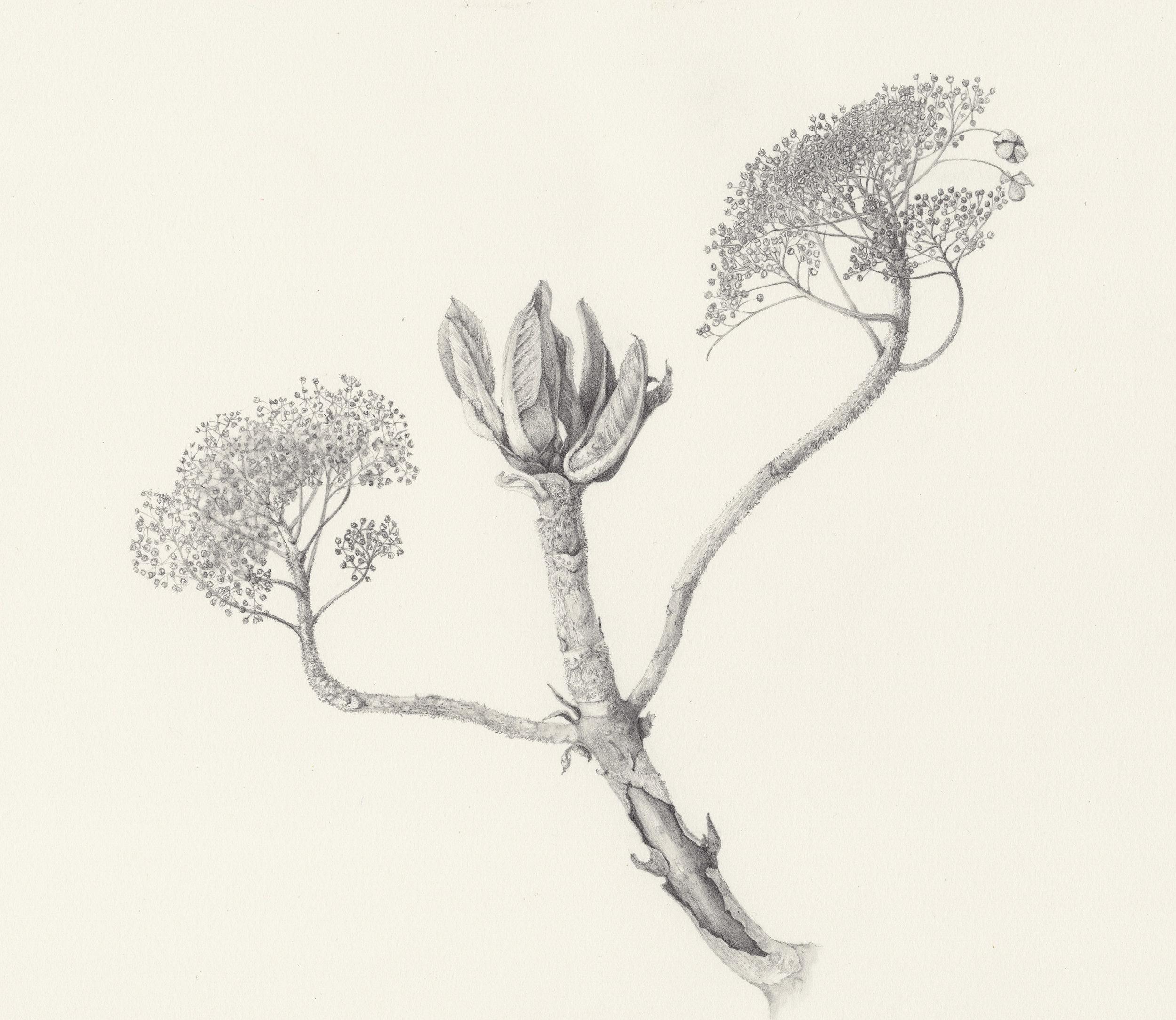 Hydrangea from Preston Hall  graphite on paper  28 x 25 cm image  51 x 48 cm framed  £560