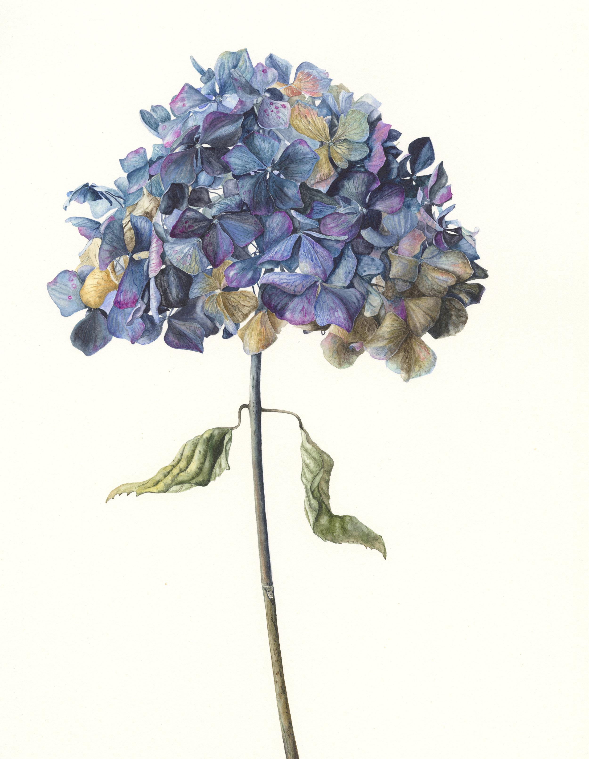 Hydrangea Macrophylla 'Enziandom'  watercolour on paper  30 x 43 cm image  53 x 68 cm framed  £1800