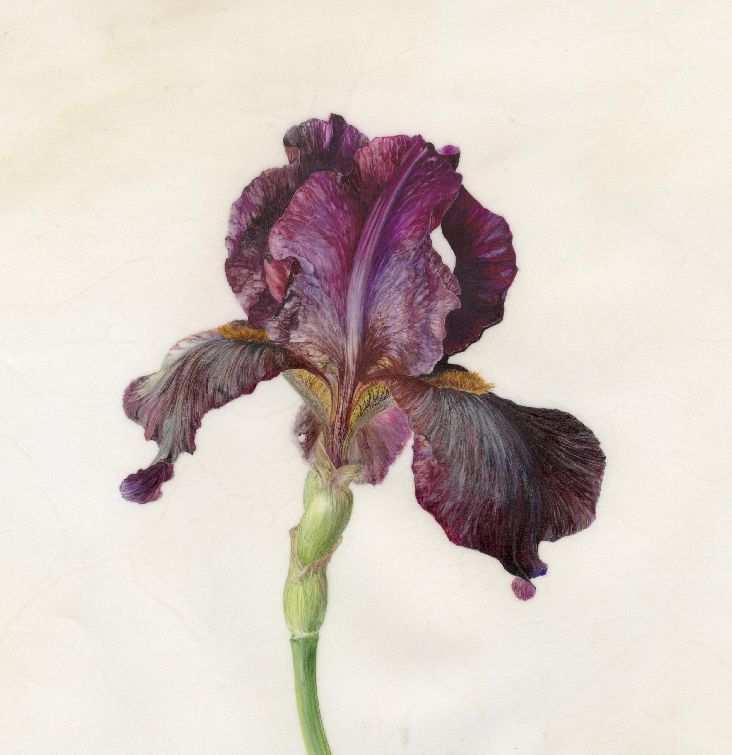 Iris Recogniton II Langport Wren  watercolour on vellum  21 x 21 cm image  SOLD