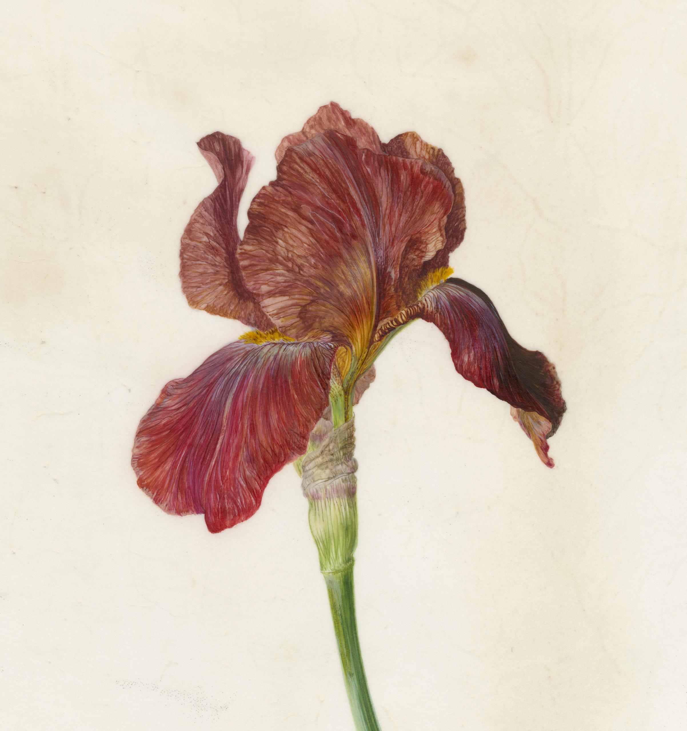 Iris Recogniton I Quechee  watercolour on vellum  45 x 45 cm framed  sold