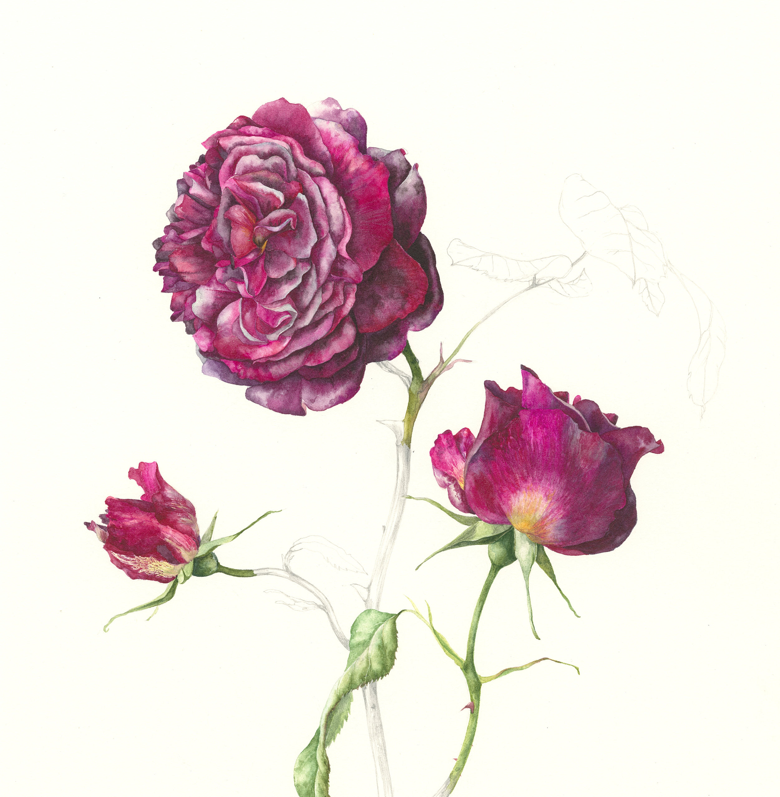 Rosa Munstead Wood  watercolour on paper  24 x 24 cm image  47 x 47 cm framed  SOLD